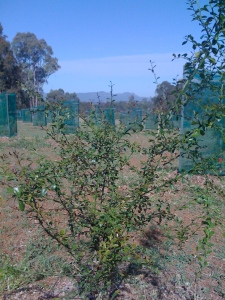 Finger Limes Doing Well (Spring 2008)